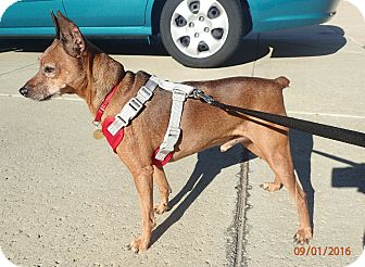 Miniature Pinscher Dog for adoption in Sacramento, California - CHARLIE BROWN