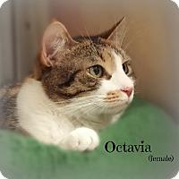 Adopt A Pet :: Octavia - Springfield, PA