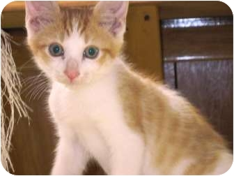 Domestic Shorthair Kitten for adoption in Warren, Ohio - Rocco