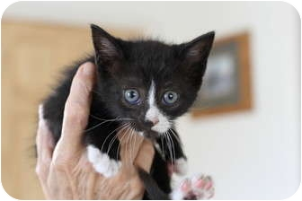 Domestic Shorthair Kitten for adoption in Lighthouse Point, Florida - Jasmine