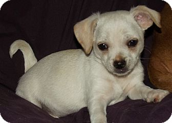 Chihuahua/Dachshund Mix Puppy for adoption in Phoenix, Arizona - Chunk