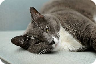 Russian Blue Cat for adoption in Huntington Station, New York - HENRIETTA