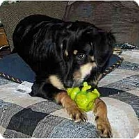 Adopt A Pet :: Hadrian - Chandler, IN