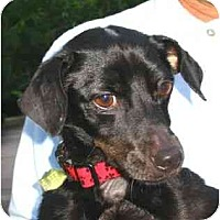 Adopt A Pet :: Velvet - Kingwood, TX