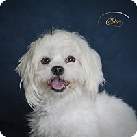 Adopt A Pet :: Chloe - Rancho Mirage, CA