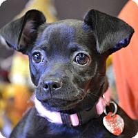 Adopt A Pet :: PITA - Higley, AZ