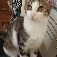 Adopt A Pet :: Joni - Cerritos, CA
