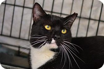 Domestic Shorthair Cat for adoption in Queens, New York - Oreo
