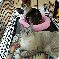 Adopt A Pet :: Saxie - Northbrook, IL