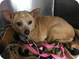 Chihuahua Mix Dog for adoption in Boston, Massachusetts - Prissy