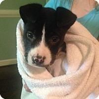 Adopt A Pet :: Keoni - Alpharetta, GA