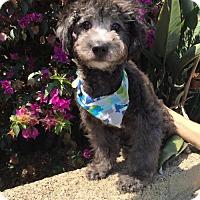 Adopt A Pet :: Winston - Costa Mesa, CA