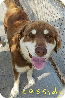 Australian Shepherd/Labrador Retriever Mix Dog for adoption in Waterbury, Connecticut - Cassidy