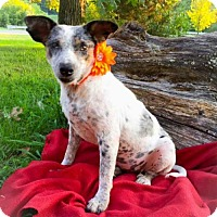 Australian Cattle Dog Mix Dog for adoption in Hagerstown, Maryland - FAITH