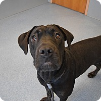 Mastiff Mix Dog for adoption in Bay Shore, New York - Indy