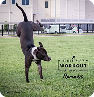 American Staffordshire Terrier/Pit Bull Terrier Mix Dog for adoption in Conroe, Texas - Runner