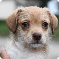 Chihuahua/Terrier (Unknown Type, Medium) Mix Dog for adoption in Holly Springs, North Carolina - Lily