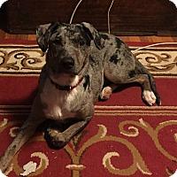 Catahoula Leopard Dog Dog for adoption in Laingsburg, Michigan - Echo