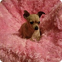 Adopt A Pet :: Ginny - San Antonio, TX