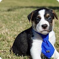Adopt A Pet :: Jax - Aubrey, TX