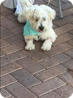 Poodle (Miniature)/Lhasa Apso Mix Dog for adoption in Fort Lauderdale, Florida - FINNEGAN