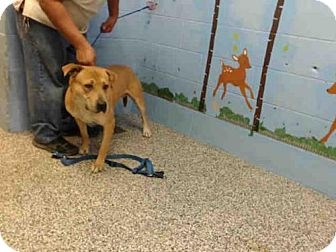 Labrador Retriever Mix Dog for adoption in San Bernardino, California - ROCKY