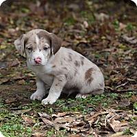 Adopt A Pet :: Grant - Groton, MA