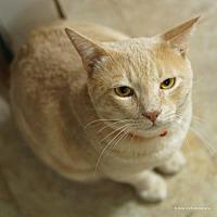 Adopt A Pet :: Brisket - Tucson, AZ