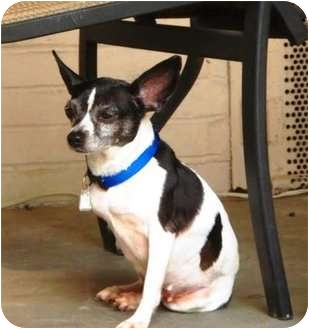 Rat Terrier Mix Dog for adoption in Jacksonville, Florida - Bitsy Lu