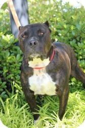 American Staffordshire Terrier Mix Dog for adoption in Justin, Texas - Shorty
