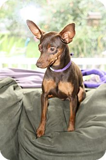 Miniature Pinscher Dog for adoption in Sherman, Connecticut - LT Betty's Dog AKC REGISTERED