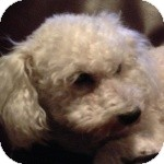 Bichon Frise Mix Dog for adoption in La Costa, California - Lexi