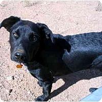 Adopt A Pet :: Zeebedee Yazzie - Scottsdale, AZ
