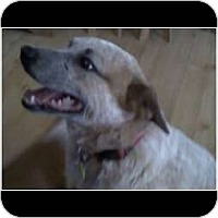 Adopt A Pet :: Copper ADOPTION PENDING - Phoenix, AZ
