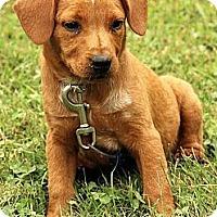 Adopt A Pet :: Alexei - Brattleboro, VT