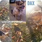 Adopt A Pet :: Dax