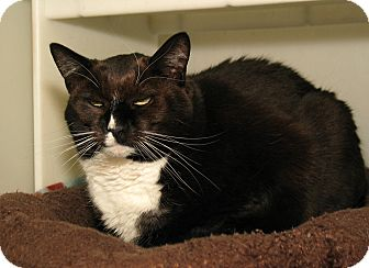 Domestic Shorthair Cat for adoption in Milford, Massachusetts - Boxer