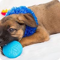 Adopt A Pet :: Pluto - Millersville, MD