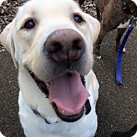 Adopt A Pet :: Clay - Woodinville, WA