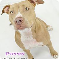 Adopt A Pet :: Pippen - Sylvania, OH