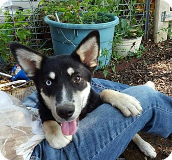 Siberian Husky Dog for adoption in Memphis, Tennessee - Sabrina~UPDATE!