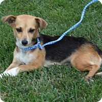 Adopt A Pet :: morgan ( chiweenie) - mooresville, IN
