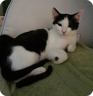 Domestic Mediumhair Cat for adoption in McKinney, Texas - Domino