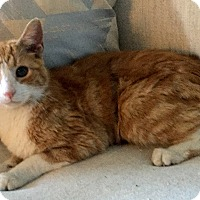 Domestic Shorthair Cat for adoption in Addison, Illinois - Cairo