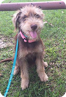 Terrier (Unknown Type, Medium)/Schnauzer (Standard) Mix Puppy for adoption in Manchester, New Hampshire - Bailey