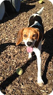 Beagle Dog for adoption in Accident, Maryland - Lacy
