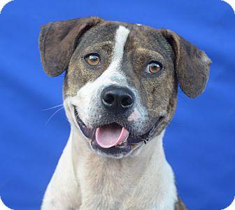 Terrier (Unknown Type, Medium)/Boxer Mix Dog for adoption in LAFAYETTE, Louisiana - JOJO
