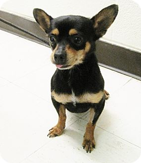Chihuahua Dog for adoption in Hot Springs, Virginia - Jasper