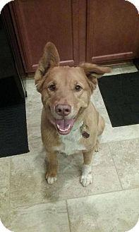 Golden Retriever/Collie Mix Dog for adoption in Blacksburg, South Carolina - Khloe