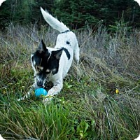 Australian Cattle Dog/Border Collie Mix Dog for adoption in Portland, Oregon - Rocket